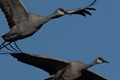 Two Sandhill Cranes that stopped by Jasper Pulaski Fish and Wildlife area during their fall migration. I was amazed that I could see the pupil of their eyes at over 800 mm.  Image cropped to show detail.