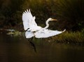 Littel Egret