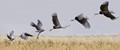 Prehistoric take off - Shoebill, Uganda