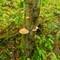 Birch_Tree_Fungi1