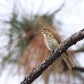 Hermit Thrush - State Bird Vermont