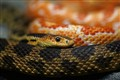 Snake Bokeh