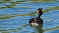 Mrs Australasian Crested Grebe and baby