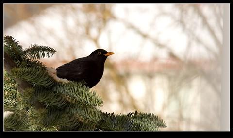 Black_Birdy