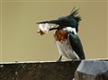 amazon_kingfisher