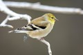 """And I asked him again that frosty morn, """"Mr Goldfinch, are you sure you haven't seen my gray Tweety Bird?"""""""