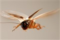 Cricket flying