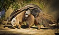 Giant Anteater - Mommy and cub
