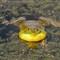 Happy Bullfrog