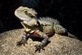 Frilly Lizard