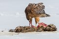 Red-shouldered Hawk working on a Raccoon carcass