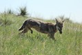 Coyote Lunch