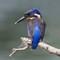 kingfisher21022018_264v1a
