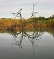 Calm, brackish waters at an oxbow of the Rio Grande provided nice reflections of a long-dead tree.