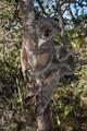 Wild koalas, Magnetic Island, Australia