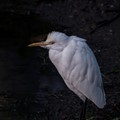 A big year birds-Cattle egret-under winter cold