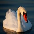 Swan at Veerse Meer, Zeaaland, Netherlands