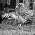 contending cocks