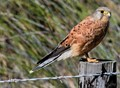 Rock kestrel, bird of prey from western cape South Africa- manual focus