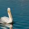 White Pelican 006