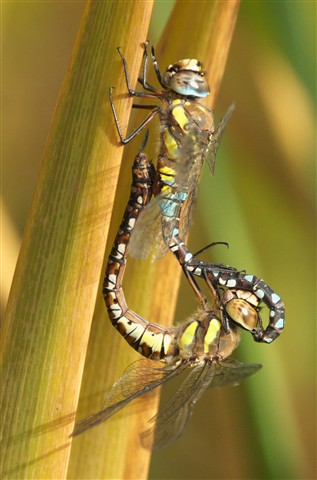 Migrant hawker pair