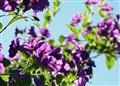 plurple blooms
