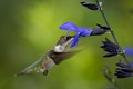 Ruby-throated Hummingbird enjoying Black & Blue Salvia