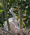 3 great white egret chicks