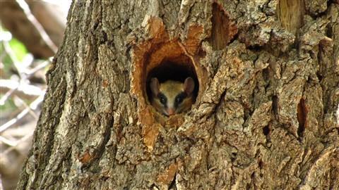 Blabber squirrel