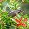Australian Wattle Bird