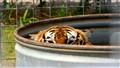 Hot! Tiger