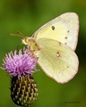 Clouded Sulphur on thistle