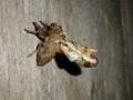 Cicada moult