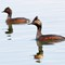 eared grebes small