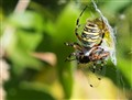 argiope bruennichi and dragonfly