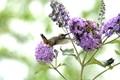 An Allen's hummingbird sipping on a  lilac .