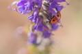 Coccinellidae on Salvia