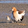A mother American Avocet enjoying the early morning sun with 2 2-day old chicks; one was still leery of the bright sun so hid under the mother's wings; the other ventured out to test its fishing skill