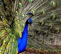 Peacock's glory