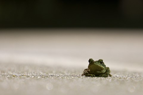 midnight toad