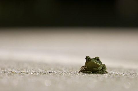 midnight toad