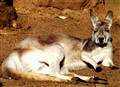 Red Kangaroo - Lazy Aussie