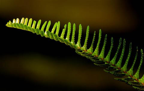 California Wild Fern
