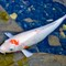 A koi carp that say hello
