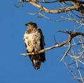 Immature Bald Eagle in late day light