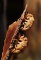 Cicada shells 2