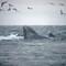 HumpbacksFeeding_051