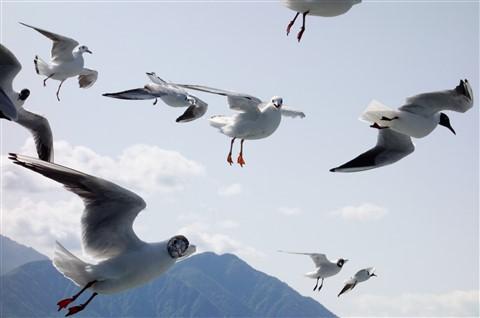 DSC04003 Hungry seagulls 4k