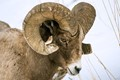 big horn ram in yellowstone