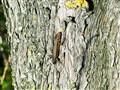 tailless lizard